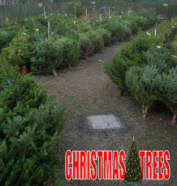 Christmas Trees Finglas Ashbourne Dublin Meath