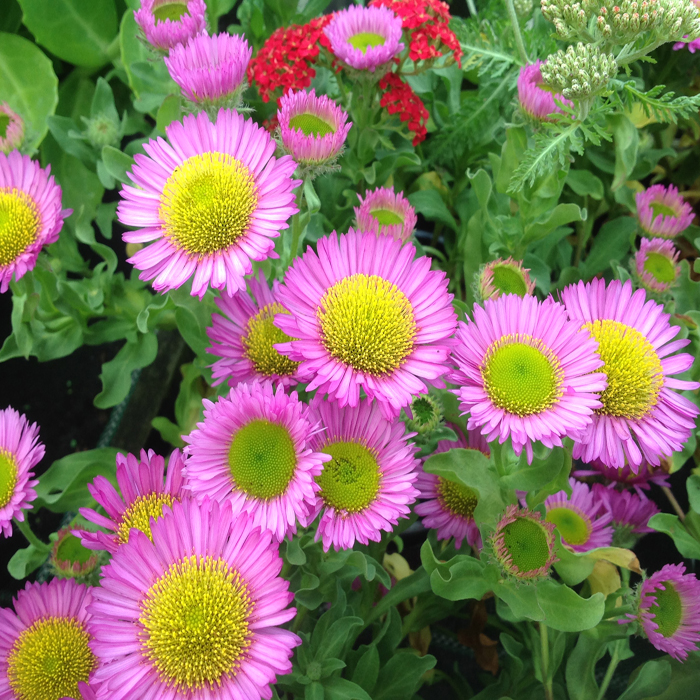 Erigeron 'Sea Breeze' (VR)