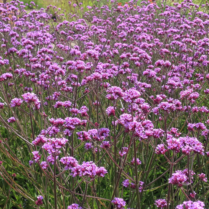Verbena 'Lollipop' (P)