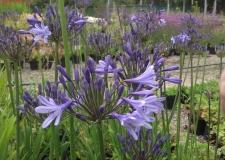 Agapanthus 'Blue Triumphator' (P)