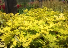 Dicentra 'Gold Heart' (P)
