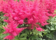 Astilbe 'Drum _ Bass' (P)