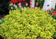 Euonymus 'Emerald Gold'