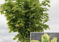 Acer 'Drummondii'